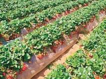 सातारच्या शेतकऱ्याने स्ट्रॉबेरी उत्पादनातून साधली आर्थिक समृद्धी