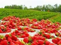 कोल्हापुरात शनिवारपासून 'स्ट्रॉबेरी-मध महोत्सव', सातारा जिल्हा उपनिबंधक कार्यालयाचा पुढाकार