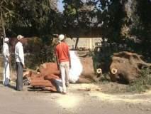 तळोदा पालिकेचा प्रस्ताव : कापलेल्या झाडांचे होणार पुनरूज्जीवन