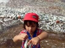 मालवणात सापडली बंपर तारली, समुद्राच्या लाटांसोबत किनारी : पर्यटकांसह, स्थानिकांची पाहण्यासाठी गर्दी