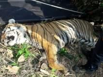 अखेर उपचाराअभावी त्या वाघाचा मृत्यू, वनविभागाच्या उदासीनतेनं घेतला वाघाचा बळी