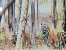 नागझिरा अभयारण्यात प्राणांतिक झुंजीत जबर जखमी झालेला वाघ सुखरूप