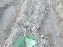 भडगाव तालुक्यातील टोणगाव शिवारात रानडुकरांसह वानरांचा धुमाकूळ