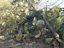 वृक्षांची अवैध कत्तल करणारे ताब्यात