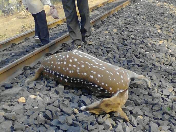 Two deer killed in train crash; Events on Gondia Ballarshah Road | नववर्षारंभी रेल्वेच्या धडकेत दोन हरीण ठार; गोंदिया बल्लारशाह मार्गावरील घटना