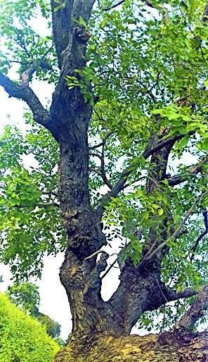 The blood moon found in Kharishi | खर्षी येथे आढळले रक्तचंदनाचे झाड