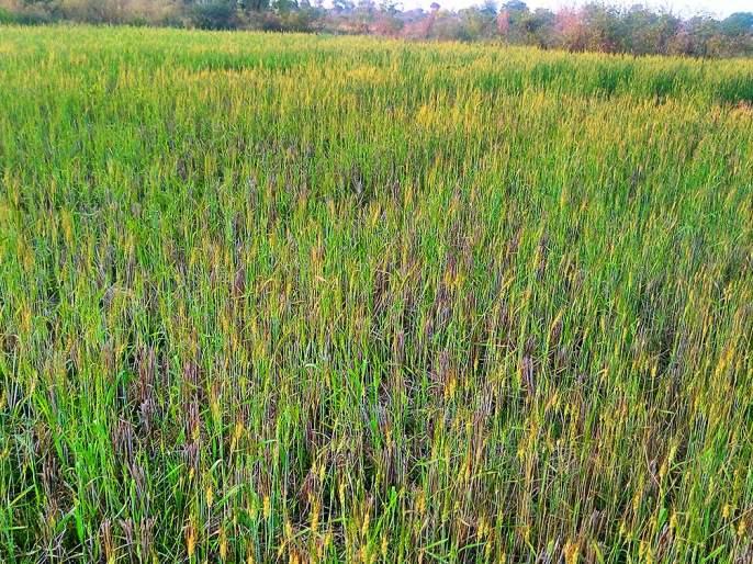 Wheat crop is drying in Nagpur district | नागपूर जिल्ह्यातील गव्हाचे पीक वाळण्याच्या मार्गावर