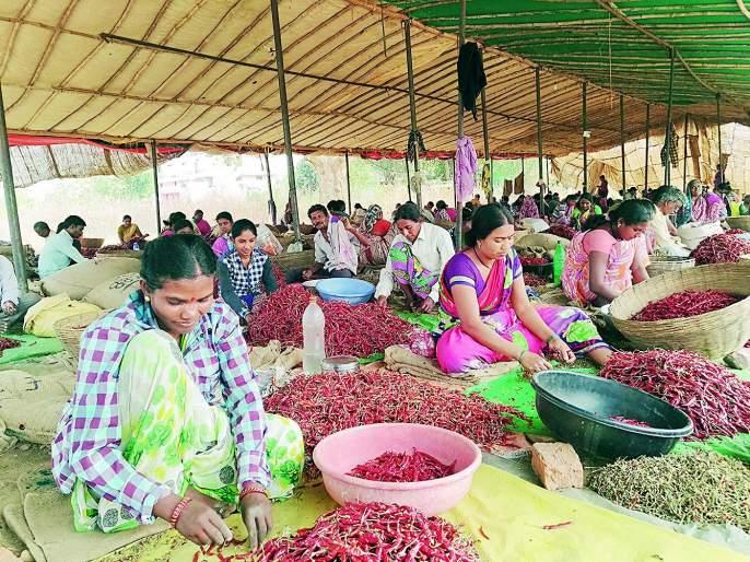 Our luck just neglected! The pain of the women doing chilli harvesting | आमच्या नशिबी फक्त उपेक्षाच! मिरची कटाई करणाऱ्या महिलांची व्यथा