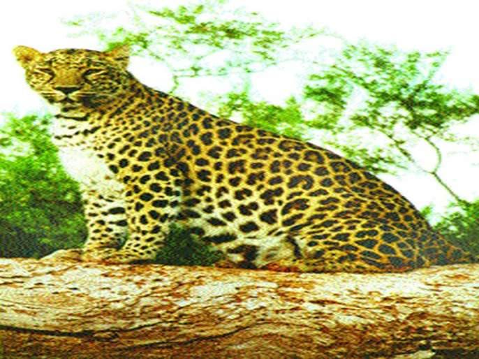 Leopard-free communication in Brahmanawadi area of Sinnar taluka | सिन्नर तालुक्यातील ब्राह्मणवाडे परिसरात बिबट्याचा मुक्त संचार