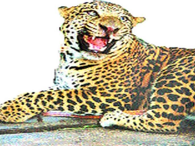 Two-wheeler injured in leopard attack | मेंढी येथे बिबट्याच्या हल्ल्यात दुचाकीस्वार जखमी