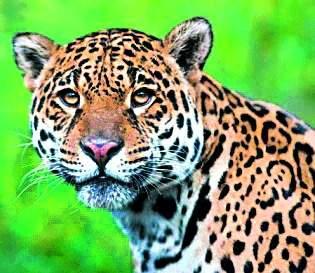 Leopard made goat, bullock's hunting | बिबट्याने केली शेळी,बैलाची शिकार