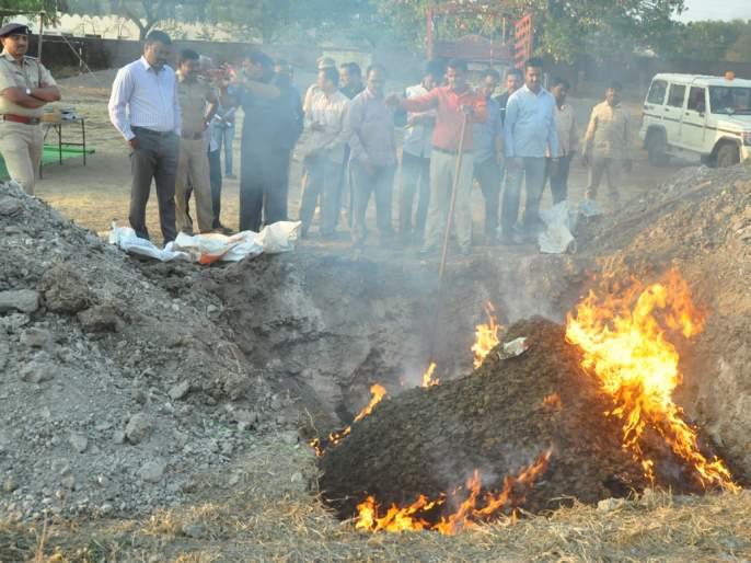 41 lakhs of Ganja destroyed in Beed   बीडमध्ये ४१ लाखांचा गांजा नष्ट