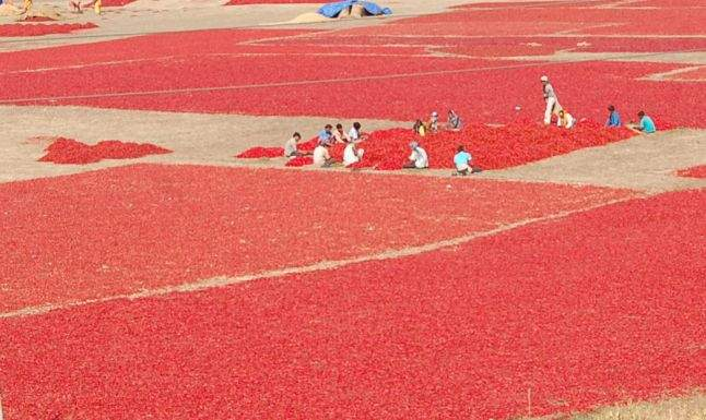 Farmers in drought condition: They are saved by pepper | दुष्काळी स्थितीत शेतक:यांना मिरचीने तारले