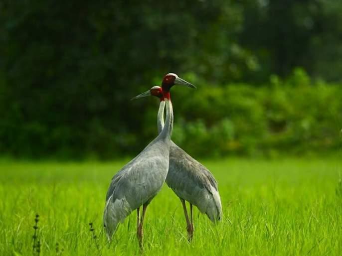 78 villages of Gondia district alert for the protection of sarus crane | सारस पक्ष्याच्या संवर्धनासाठी गोंदियात 'सारस स्केप' ची ७८ गावांत लोकचळवळ