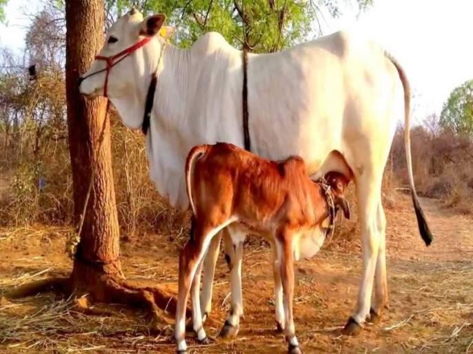 nashik,Police,rescued,slaughtered,animals | पोलिसांनी केली कत्तलीसाठीची जनावरांची सुटका