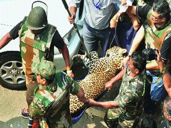 If the leopard attack can be avoided, the residents claim, | ...तर बिबट्याचा हल्ला टाळता आला असता, रहिवाशांचा दावा, नानेपाडात घातला धुमाकूळ