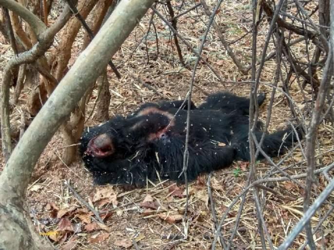 The death of ashwala along with the Junkyard forest labor, Tharar in the Thanwana forest of Bhadhavati | झुंजीत वन मजुरासह अस्वलाचाही मृत्यू,भद्रावतीच्या तिरवंजावनातील थरार