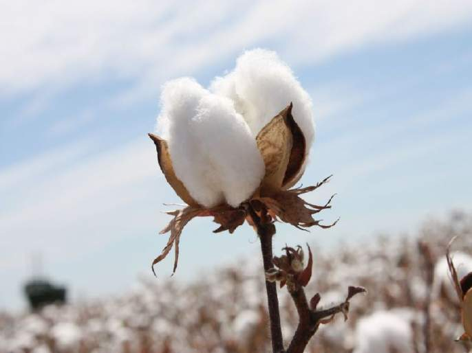 Damage to 60% cotton crop in Bondalai in Nashik district | नाशिक जिल्ह्यात बोंडअळीने ६० टक्के कापुस पिकाचे नुकसान