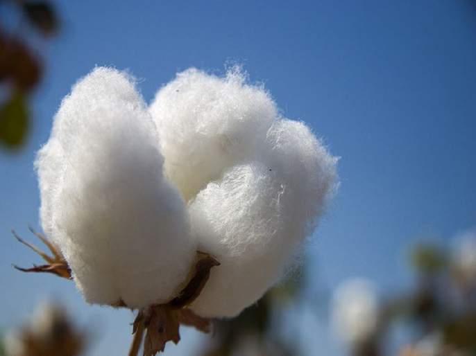 In the cotton market of Akot, 5,500 rupees of Cotton is sold | अकोटच्या कापूस बाजारपेठेत कापसाला ५ हजार ५६५ चा भाव