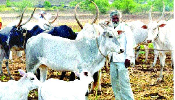 Declare cattle as national beasts - religious affiliation should be maintained by all: Imam Umer Ahmad Iliasi | गाईला राष्ट्रीय पशू घोषित करा--धार्मिक सलोखा सर्वांनीच राखला पाहिजे: इमाम उमेरअहमद इलियासी