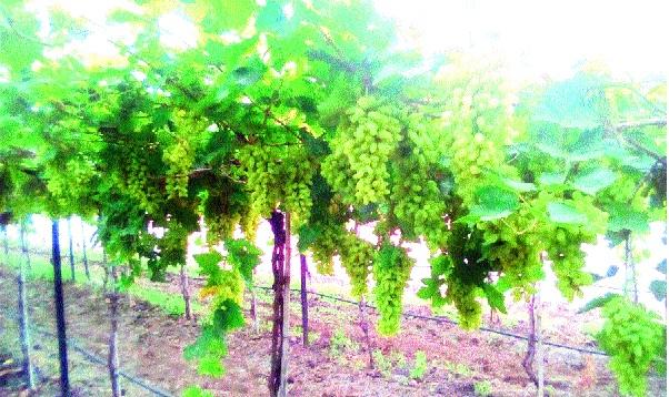 Due to cloudy weather, chances of disease in grape crisis: prices fall due to cloudy weather; Pomegranate, grape growers hit | ढगाळ हवामानामुळे द्राक्षबागा संकटात रोगाची शक्यता : व्यापाºयांकडून दरात घसरण; डाळिंब, द्राक्ष उत्पादकांना फटका