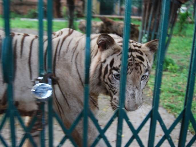 Elephants lost, wagh ever? | हत्ती सुटले, वाघ कधी?
