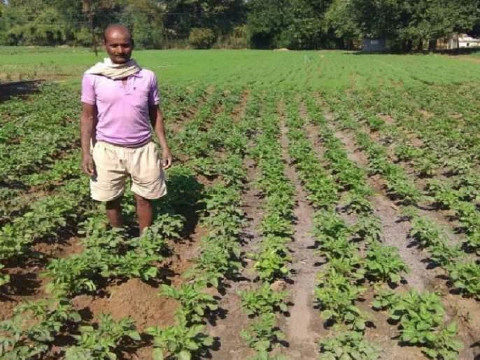 farmers' Skips traditional crops, planting of potato crop by 'Kufari Jyoti' vada | शेतक-यांचा पारंपरिक पिकांना फाटा, 'कुफरी ज्योती' वाणाव्दारे बटाटा पिकाची लागवड