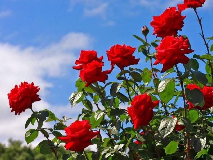 Export of 1.5 crores rose rfrom Maval taluka for 'valentine day' festival | 'प्रेमा'च्या सणासाठी मावळ तालुक्यातून झाली दीड कोटी गुलाबांची निर्यात