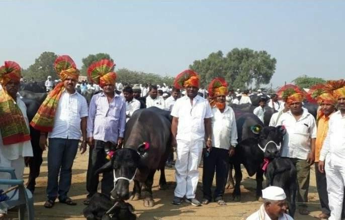 The price of buffaloes is 2 lakh 41 thousand; Sales in the market in Ghodegaon   अबब ! म्हशींच्याजोडीची किंमत२ लाख ४१ हजार;घोडेगावच्या बाजारातझाली विक्री