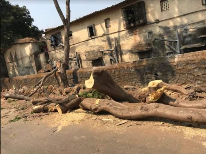 Illegal slaughter of big trees in Kashimira area; Avoid to file criminal cases | काशिमीरा भागात मोठ्या झाडांची बेकायदा कत्तल; पालिकेचीगुन्हा दाखल करण्यास टाळाटाळ