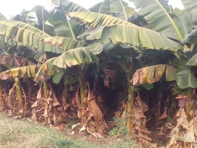 Taloda taluka: banana damage due to environmental change | तळोदा तालुका : वातावरण बदलामुळे केळीचे नुकसान