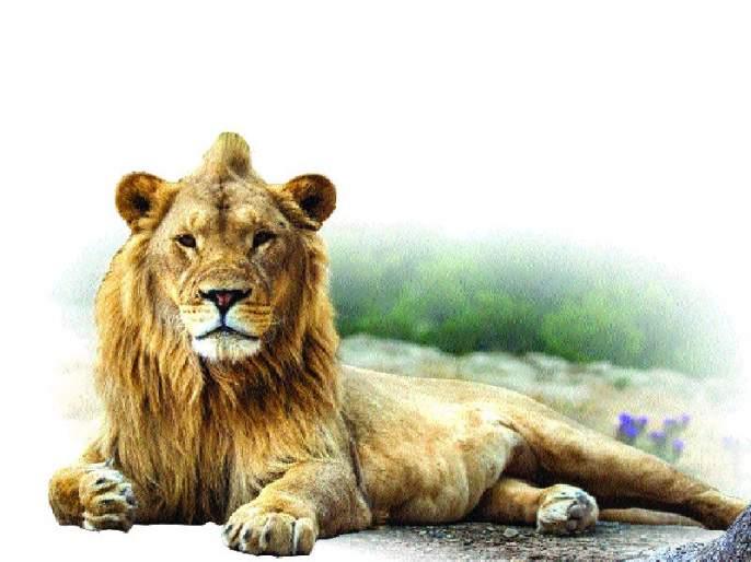 Shocking: 184 lions die in Gujarat in two years | धक्कादायक : दोन वर्षांत गुजरातेत १८४ सिंहांचा मृत्यू