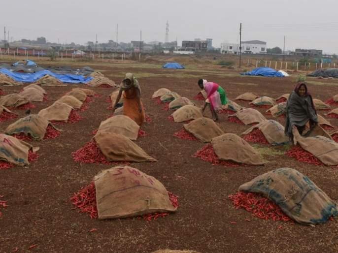 Nandurbar chilli split low, crisis due to disease | नंदुरबारच्या मिरचीचा ठसका झाला कमी!, रोगामुळे संकट