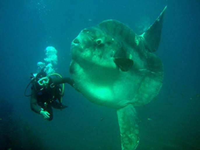 shocking The weight of this fish from Japan is 2300 kg | अरे बापरे! जपानमधल्या या माश्याचं वजन तब्बल २३०० किलो