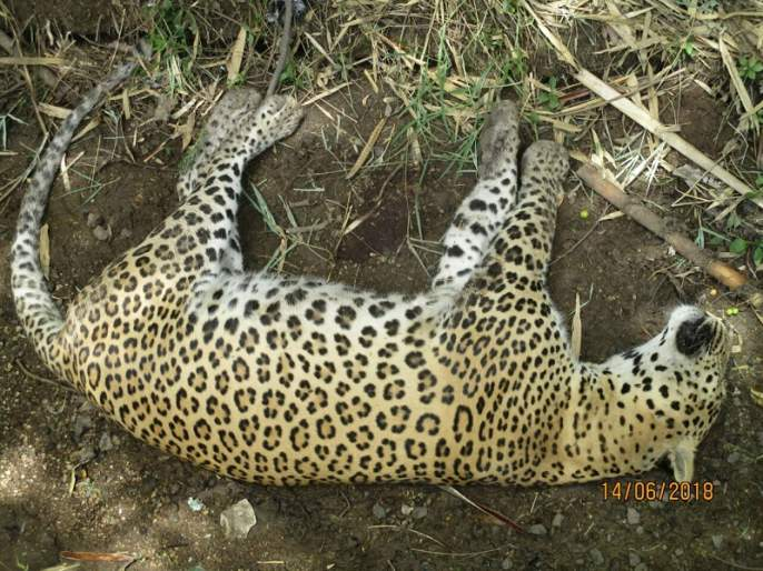 Dead leopards found in Parner taluka   पारनेर तालुक्यात आढळला मृत बिबट्या