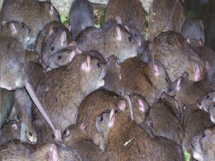mnp caugh more than 1 lakj mouse in navimumbai | नवी मुंबई मनपाची उंदरांना पकडण्यासाठी मोहीम, 8 महिन्यात पकडले 1 लाख उंदीर