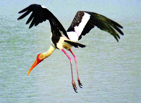 Migratory birds twitter in Yerala lake ... | येरळा तलावात स्थलांतरित पक्ष्यांचा किलबिलाट...