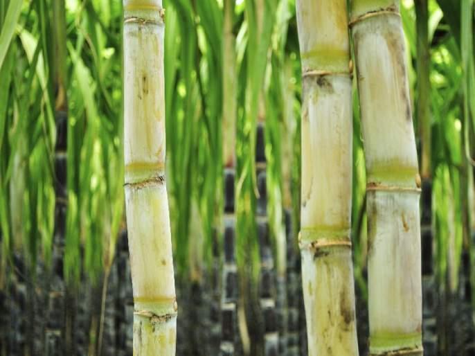 Why waste the sugarcane of the city?   नगरच्या उसाचा गोडवा का हरपला?