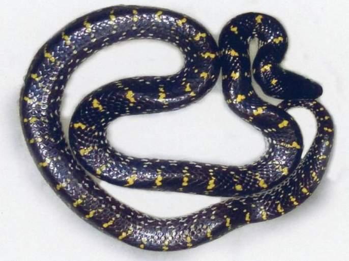 Rare species snake found in Amravati | अमरावतीमध्ये सापडला दुर्मिळ प्रजातीचा कवड्या साप