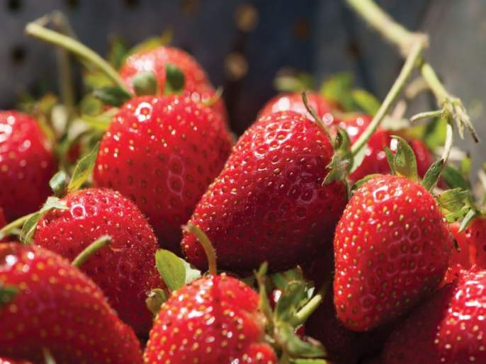 Strawberries increased in size, day 1500 Crate | स्ट्रॉबेरीची आवक वाढली, दिवसाला १५०० क्रेट