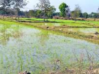 २० हजार हेक्टरमध्ये उन्हाळी भात लागवड