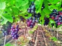 ऊसशेतीला फाटा देत तीन एकरावरील द्राक्ष उत्पादनात मिळविले १६ लाखांचे उत्पन्न