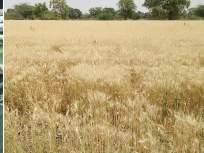 शेतकऱ्यांना बसणार कोट्यवधींचा फटका - Marathi News   Millions hit by farmers   Latest nandurbar News at Lokmat.com