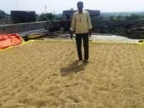 सोयाबीन वाळवताना अमरावती जिल्ह्यातील शेतकरी कुटुंबे हवालदील