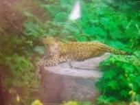 आयआयटी बॉम्बेच्या परिसरात दिसला बिबट्या - Marathi News | Leopards spotted in the vicinity of IIT Bombay | Latest mumbai News at Lokmat.com