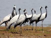 जायकवाडी पक्षी अभयारण्य अतिक्रमणांच्या विळख्यात