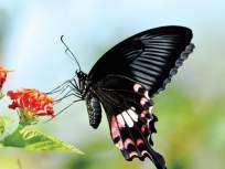 ऑनलाईन फुलपाखरू प्रदर्शन - Marathi News | Online butterfly display | Latest mumbai News at Lokmat.com