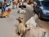 मुख्यमंत्र्यांच्या मार्गात येणारे गाय-बैल पकडा; नऊ अभियत्यांवर विचित्र जबाबदारी