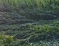 नशिराबादला ३४२० हेक्टर पिकांना नुकसानीचा फटका