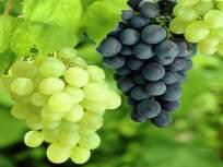 द्राक्ष निर्यात १० हजार टनांनी घटली ; उत्पादनात ३० ते ४० टक्के घट
